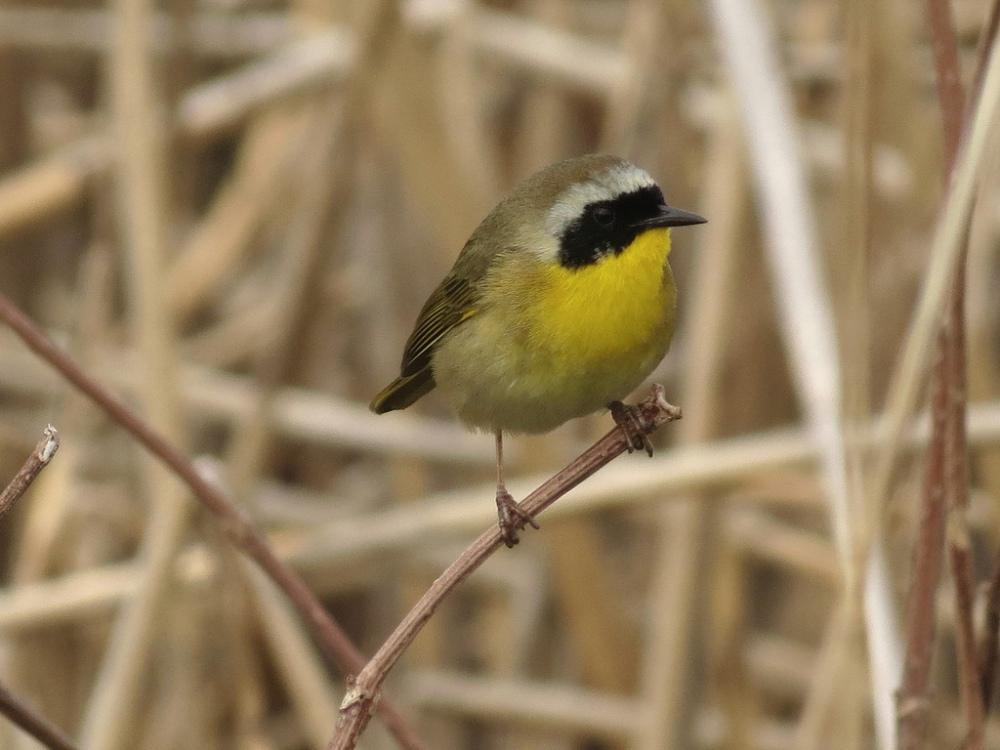 Common Yellowthroat. Photo by Mike Rosengarten