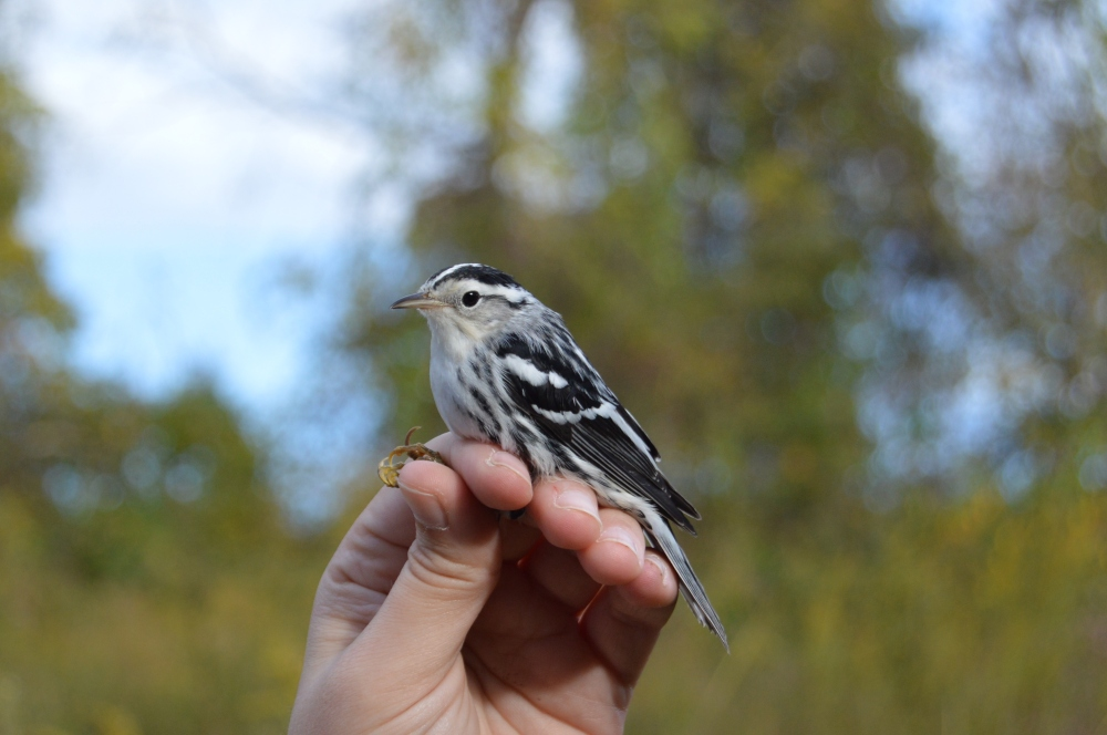 Male Black-and white Warbler at Rushton in October