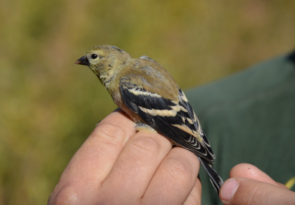 Young male American Goldfinch at Rushton this October.  Photo by Blake Goll.
