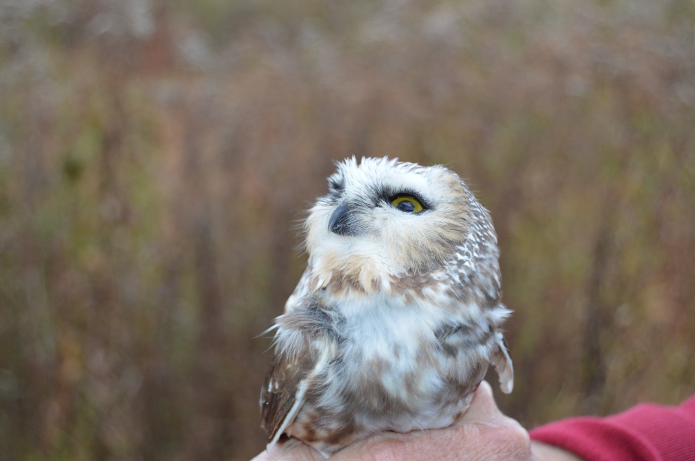 Northern Saw-whet Owl at Rushton Woods Preserve this October. Photo by Blake Goll