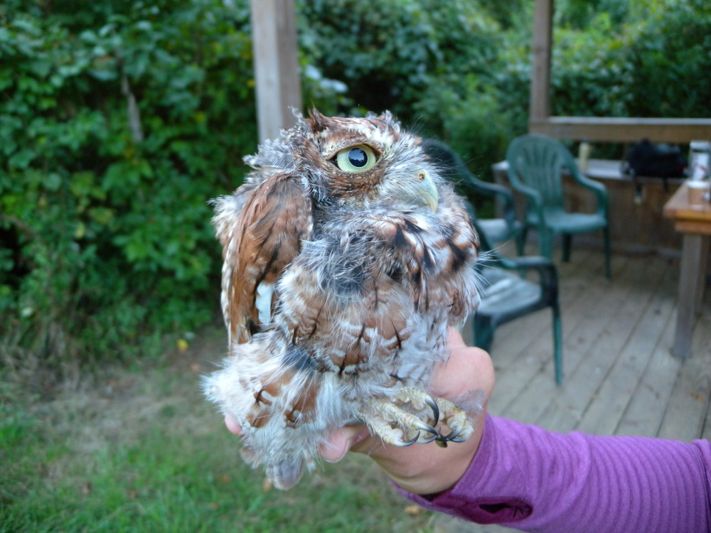 Eastern Screech Owl caught during the first week of migration banding in August