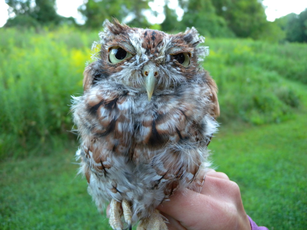 Eastern Screech Owl caught during the first week of migration banding in August.