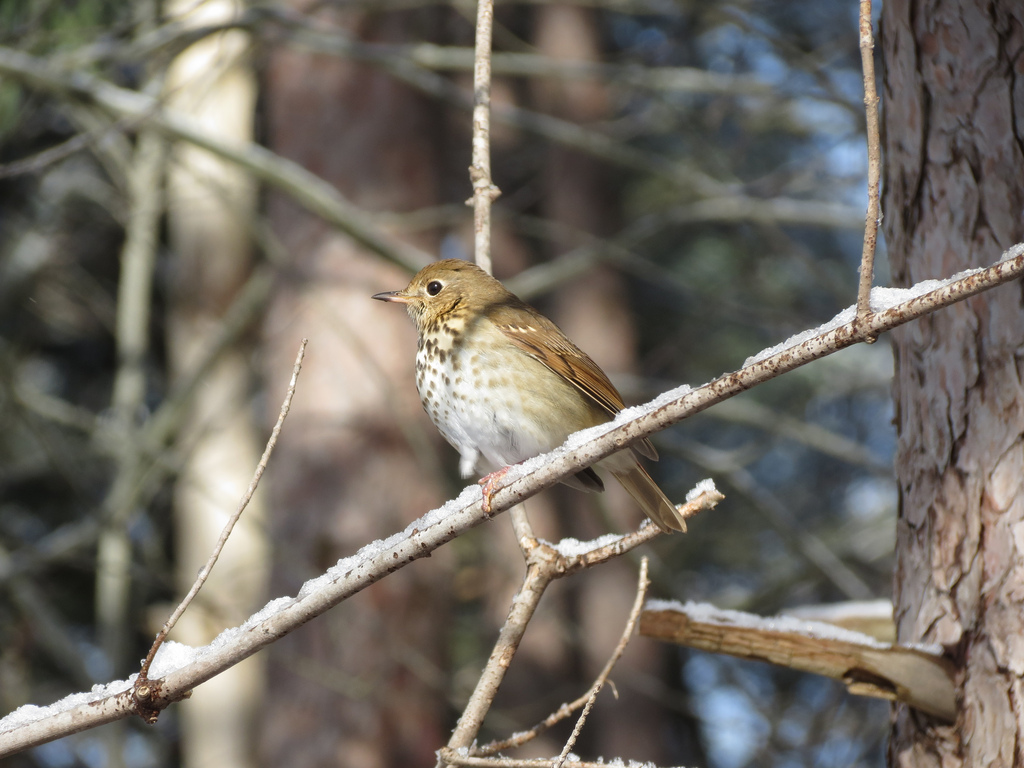 Hermit Thrush.  Photo by Mike Rosengarten