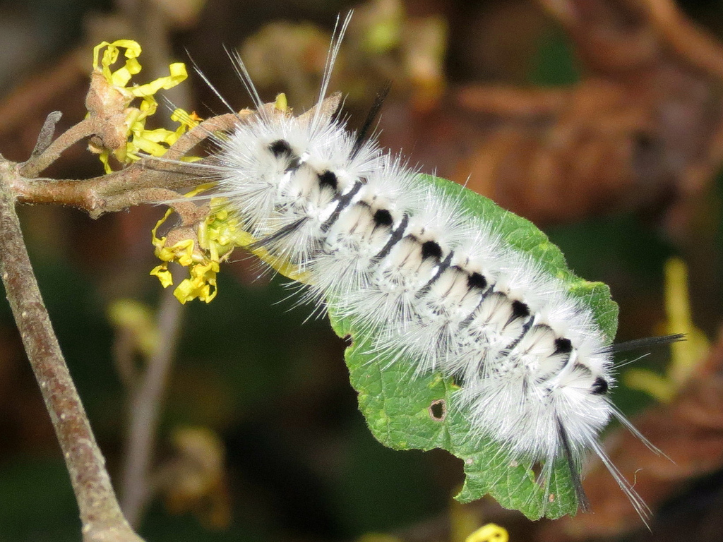 Hickory Tussock Moth Caterpillar on Witch Hazel.  Photo by Mike Rosengarten
