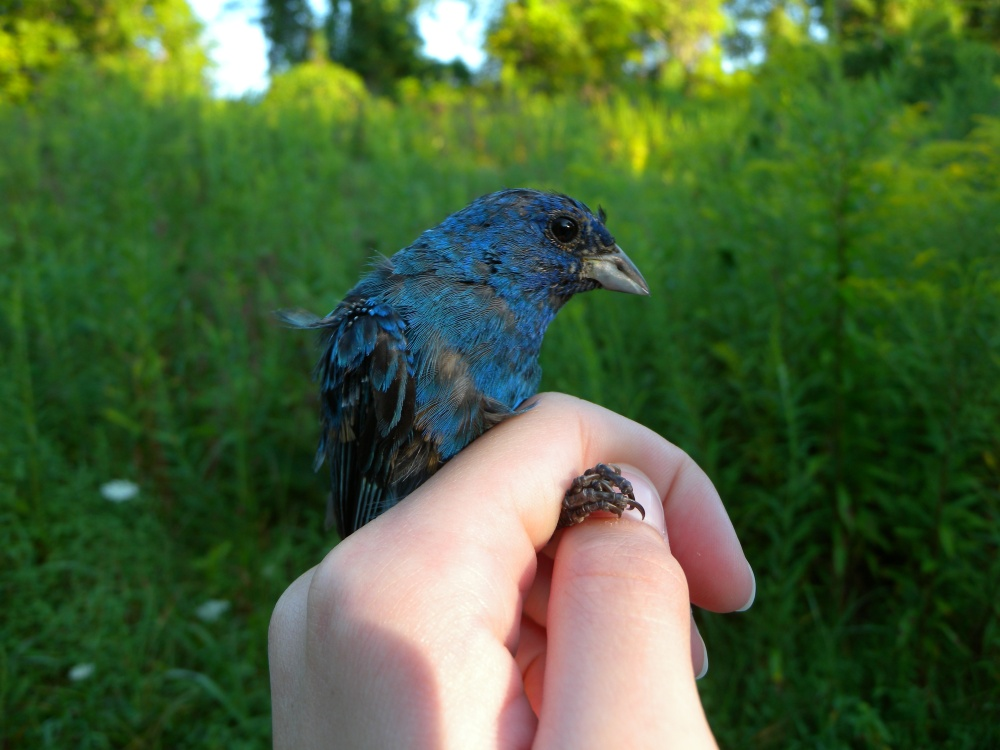 Hatching year male Indigo Bunting at Rushton end of August.  You can see some feathers coming in on his wing.
