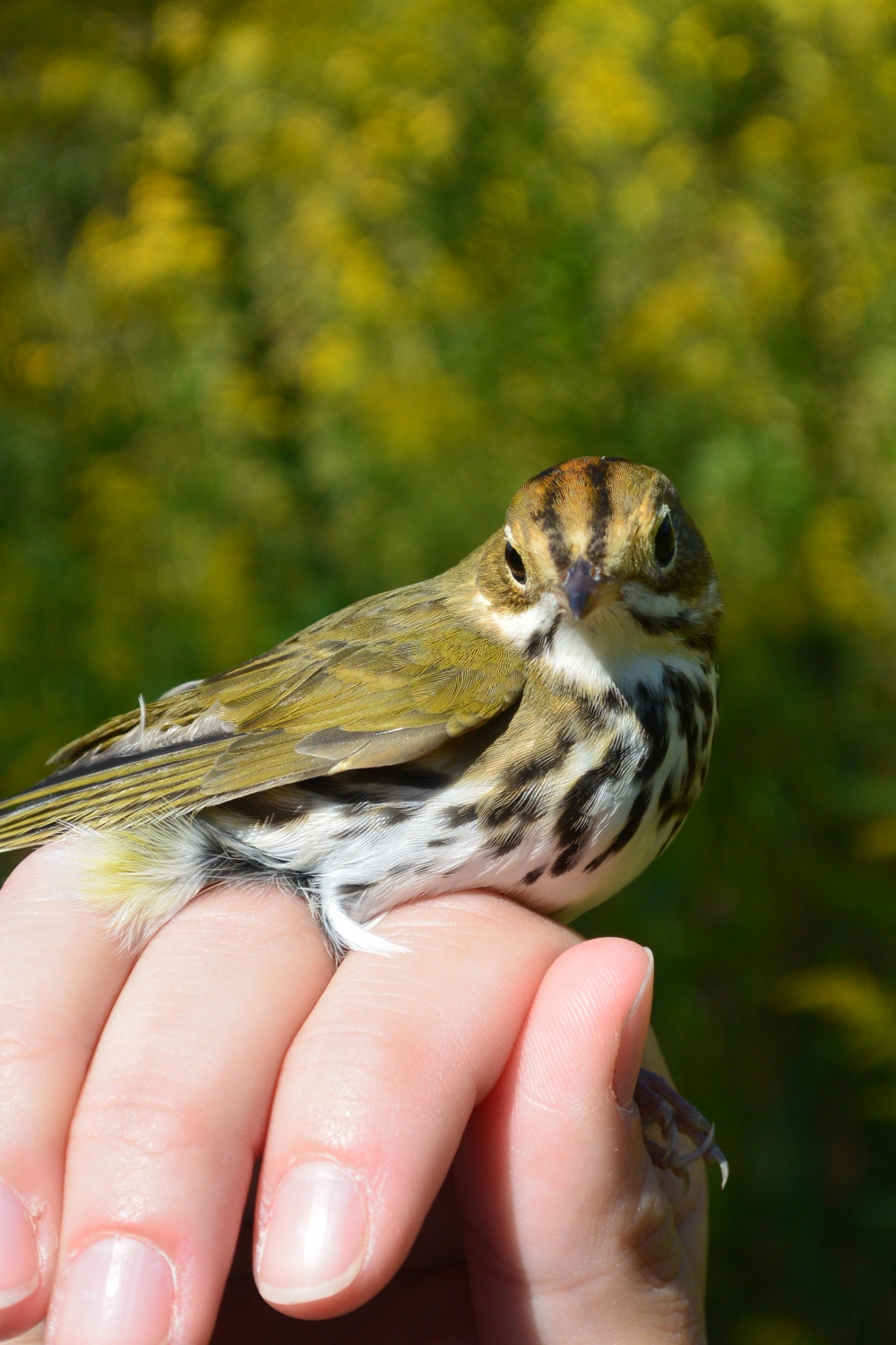 Ovenbird at Rushton in September.  Photo by Jessica Shahan