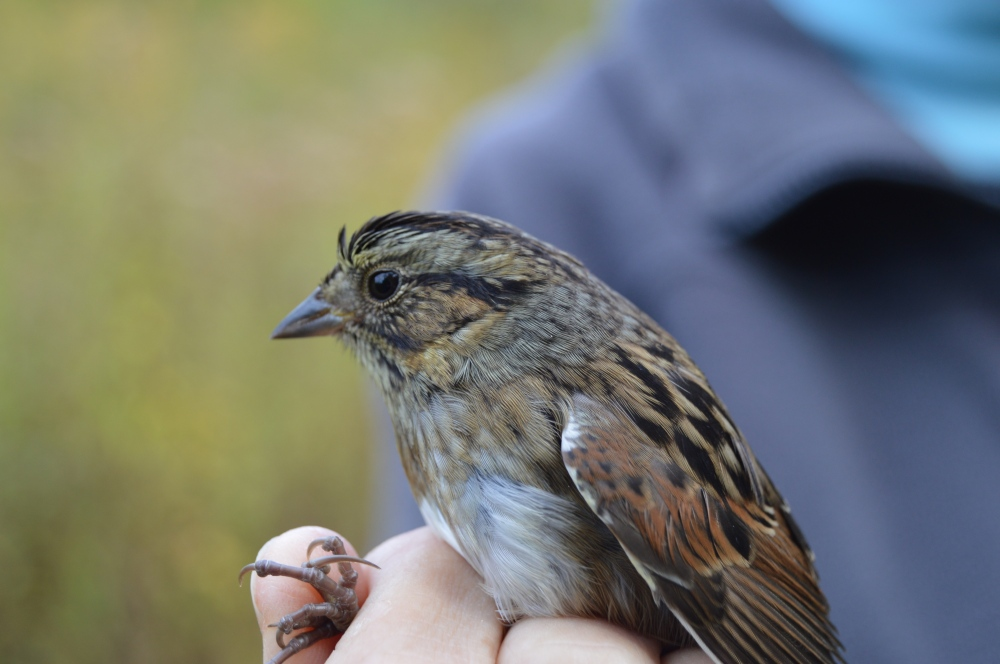 Savannah Sparrow at Rushton in October.  Photo by Blake Goll