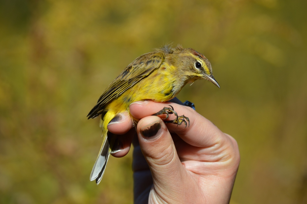 Yellow Palm Warbler at Rushton in October