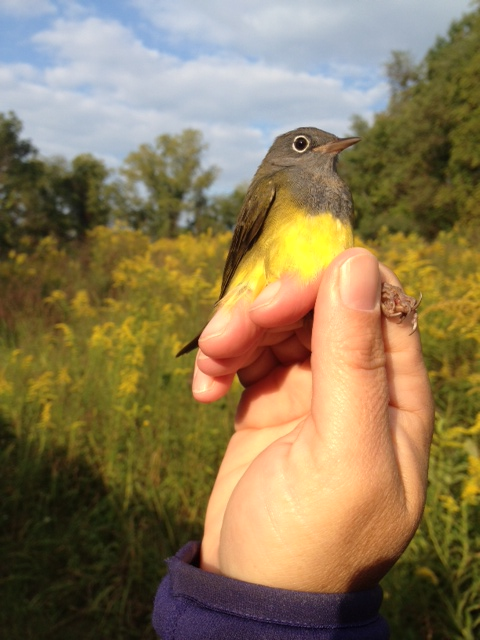 Young male Connecticut Warbler at Rushton in September. Photo by Gary Stolz