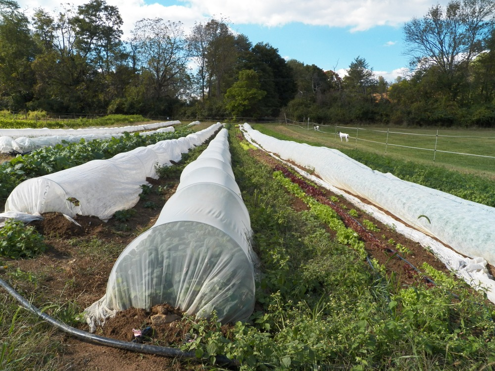 Rushton Farm uses many techniques that eliminate the need for chemicals like pesticides by protecting young crops with row cover while they are particularly vulnerable.