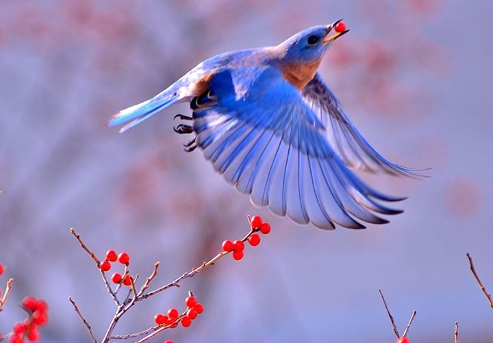 Bluebird feeding on Winterberry by Greg Schneider, Mount Joy, PA Nov 2014 (permission granted)