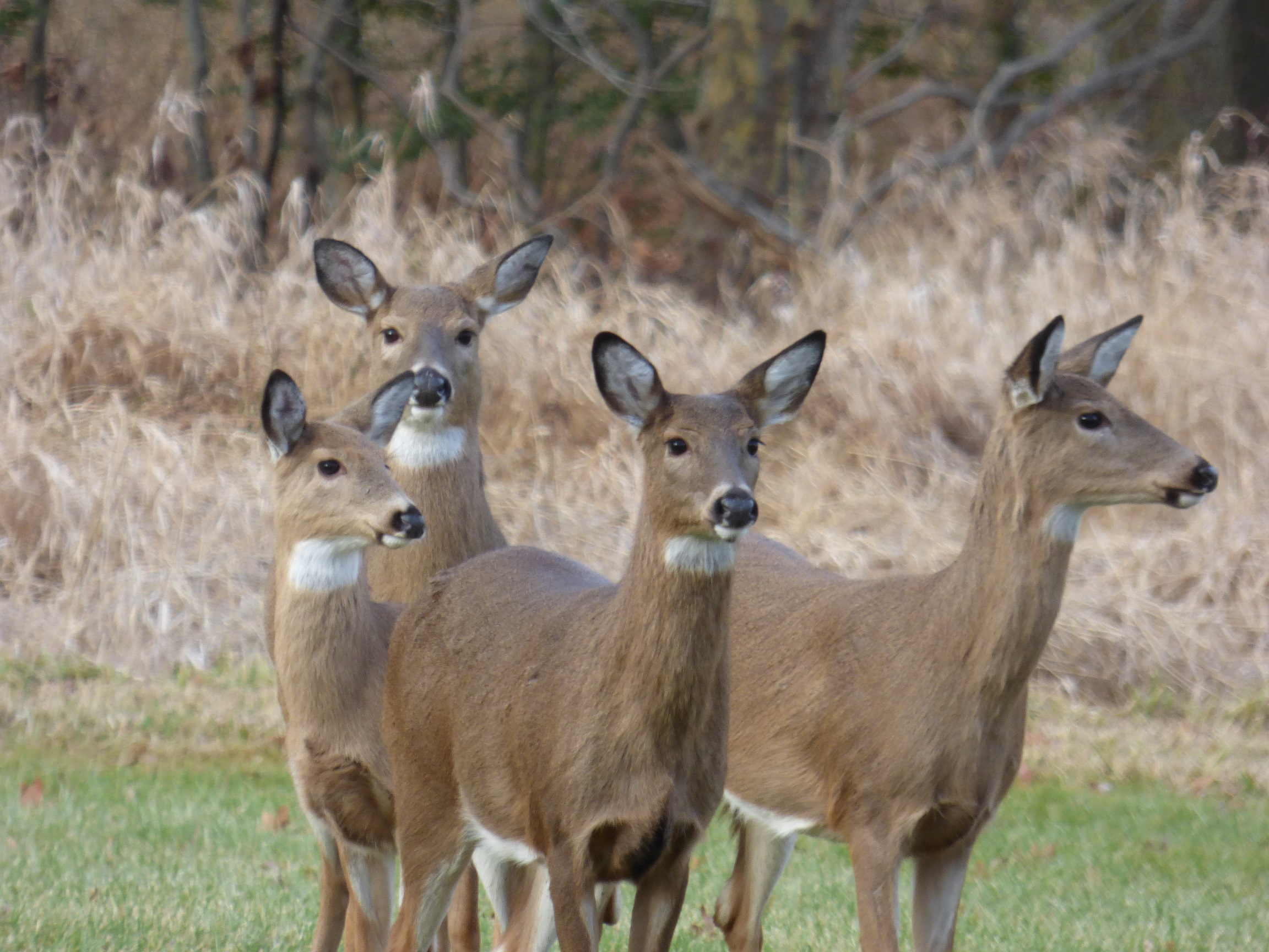 Four deer. Photo by John Fosbenner