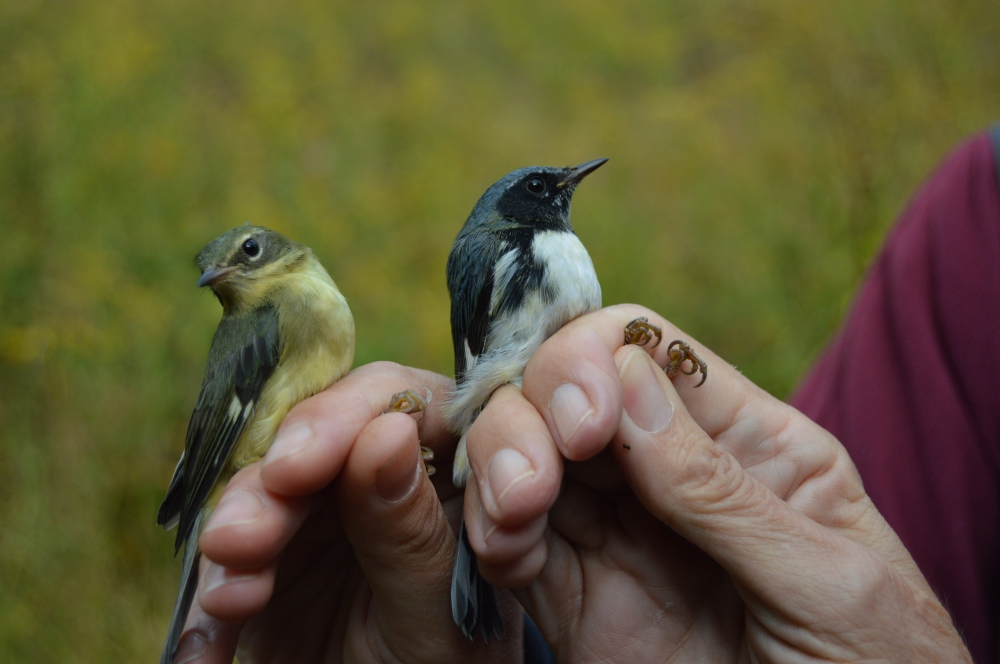 Female and male Black-throated Blue Warblers, Fall 2014.  Photo by Blake Goll.
