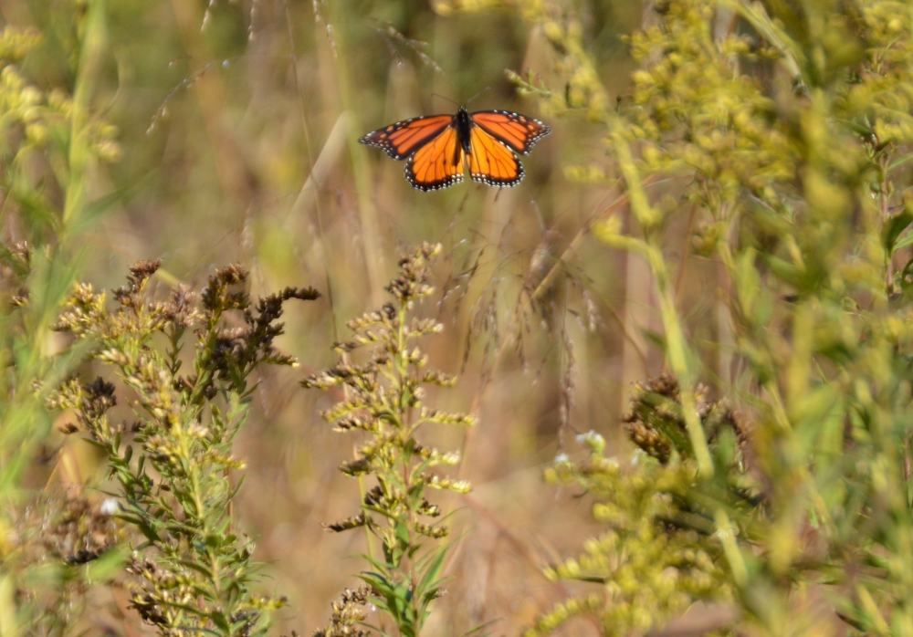 Monarch butterfly gliding over the fields at Rushton, September 2014.  Photo by Blake Goll