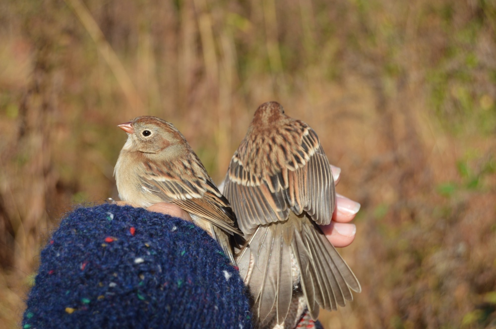 Field Sparrows at Rushton, Fall 2014. This is a species of concern that is declining in PA due to loss of grassland habitat.  They do breed successfully at Rushton though!