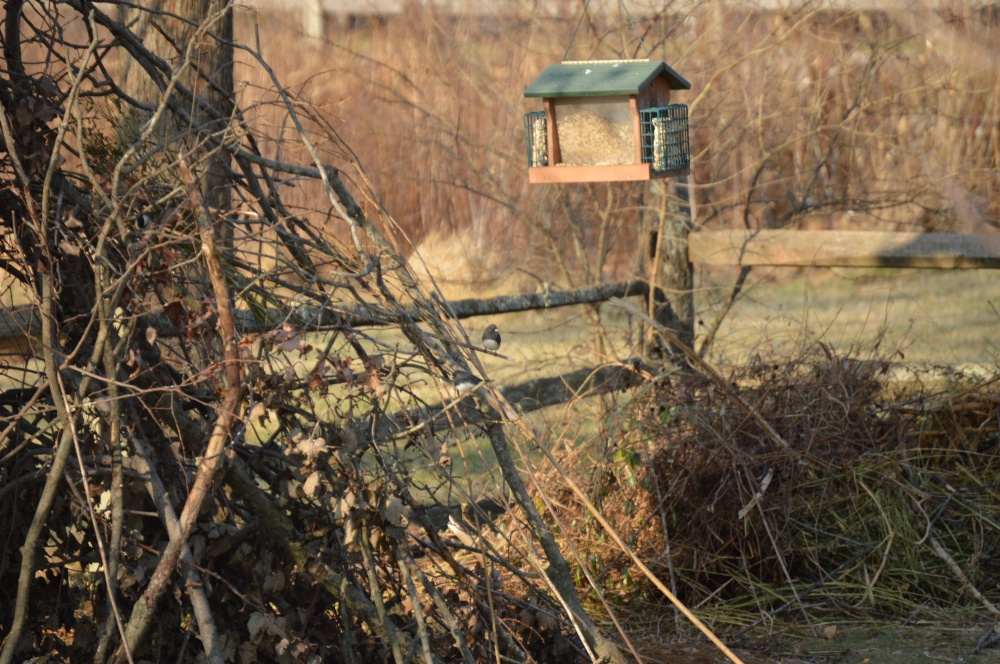 Stick bird shelter at the WCT office, built by Shipley Service students.  Can you see the Dark-eyed Junco?
