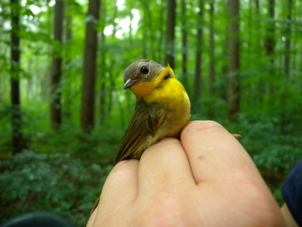 Common Yellowthroat in Rushton Woods during summer banding, 2014.