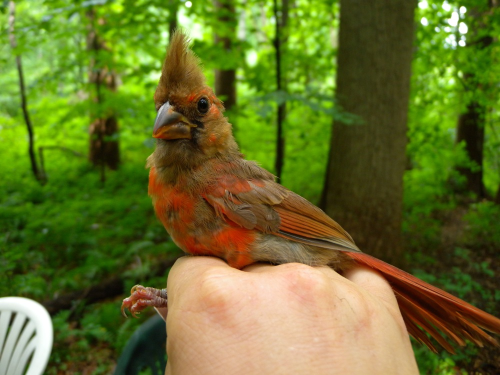 Juvenile male Northern Cardinal during summer banding, 2014.