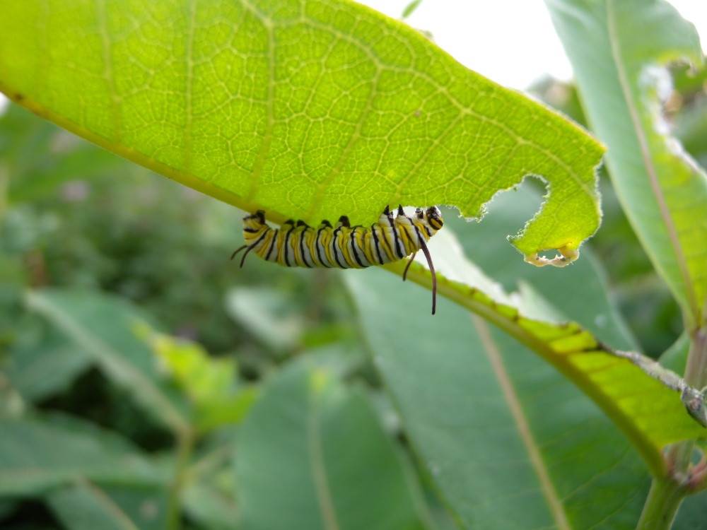 Despite, declining monarch numbers, our Jr. Birders were able to find quite a few caterpillars feeding on the milkweed in our wildflower meadow, July 2014.  Photo by Blake Goll