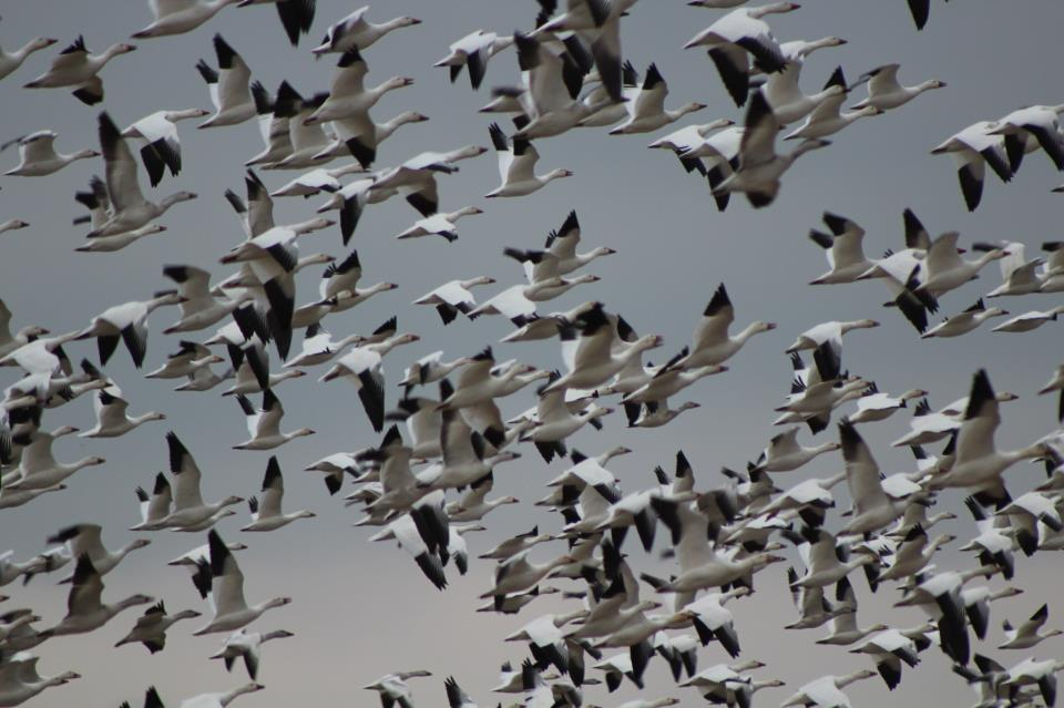 Flock of Snow Geese.  Photo by Phil Stollsteimer (12 years old!) at Washington Crossing National Cemetery