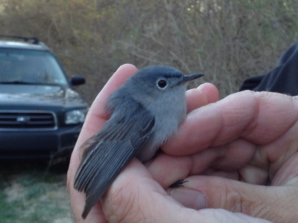 Rushton's first Blue-gray Gnatcatcher catch!  Spring 2014.