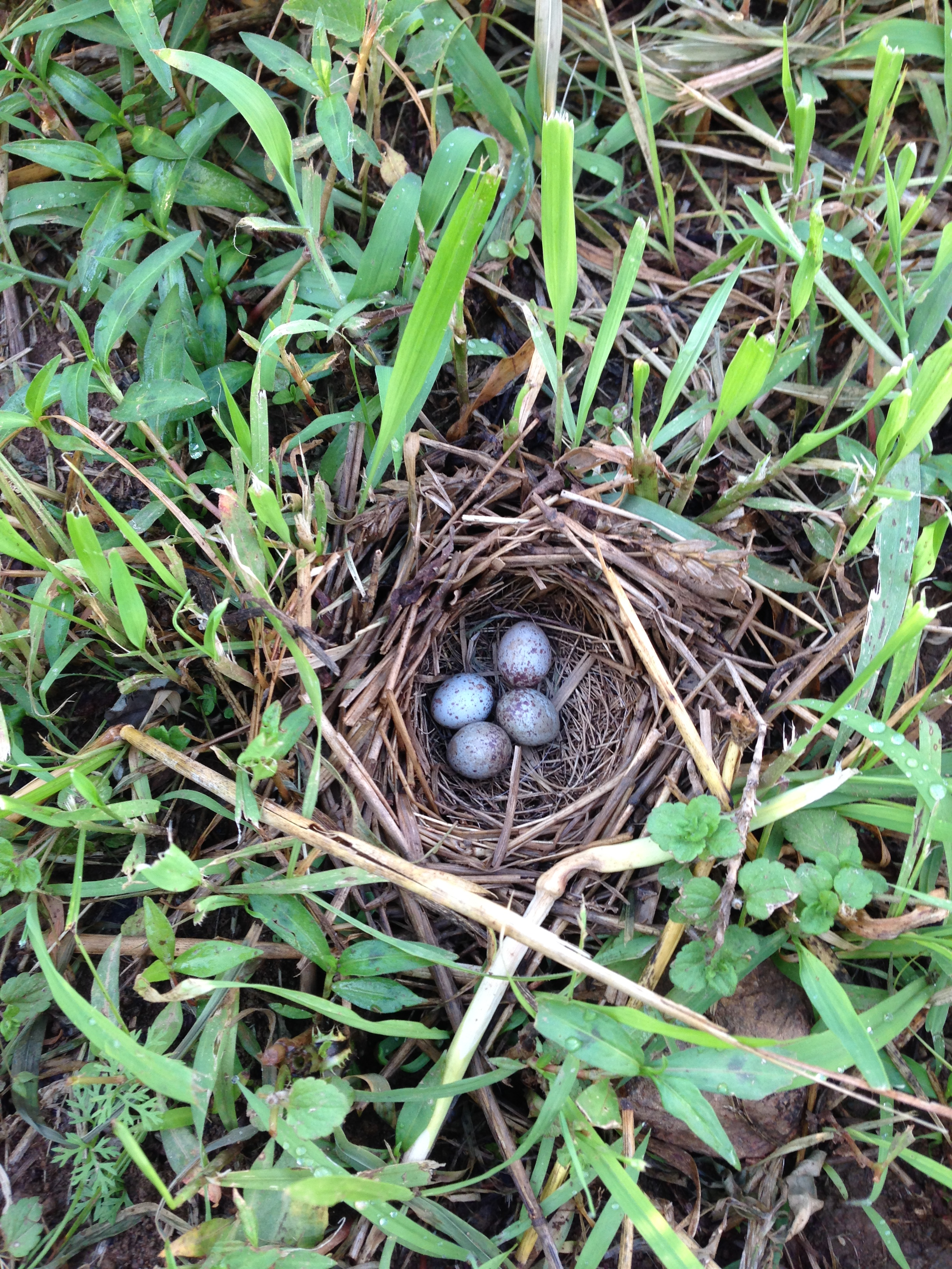 Song sparrow nest in the garlic field of Rushton during the spring of 2014.