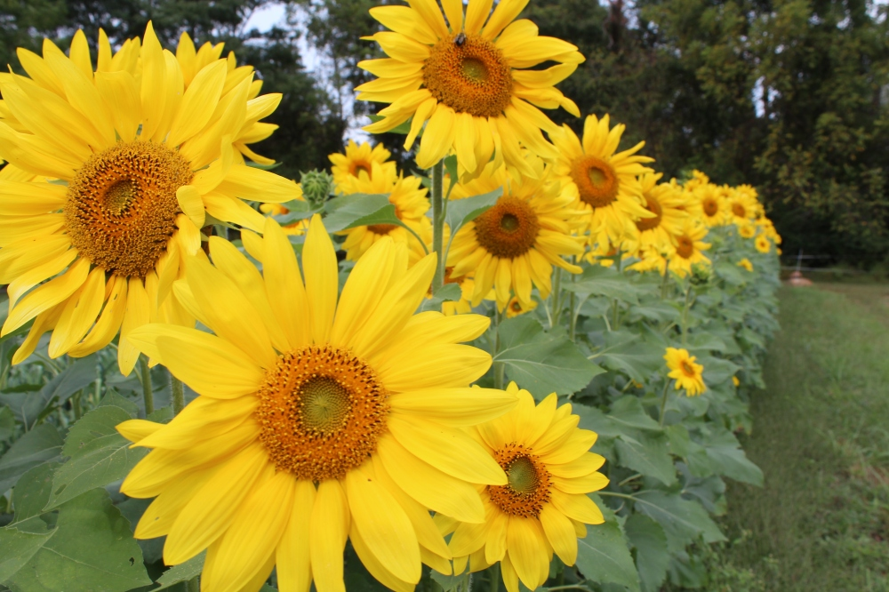 Last year was Rushton Farm's first year growing sunflowers just for the birds!