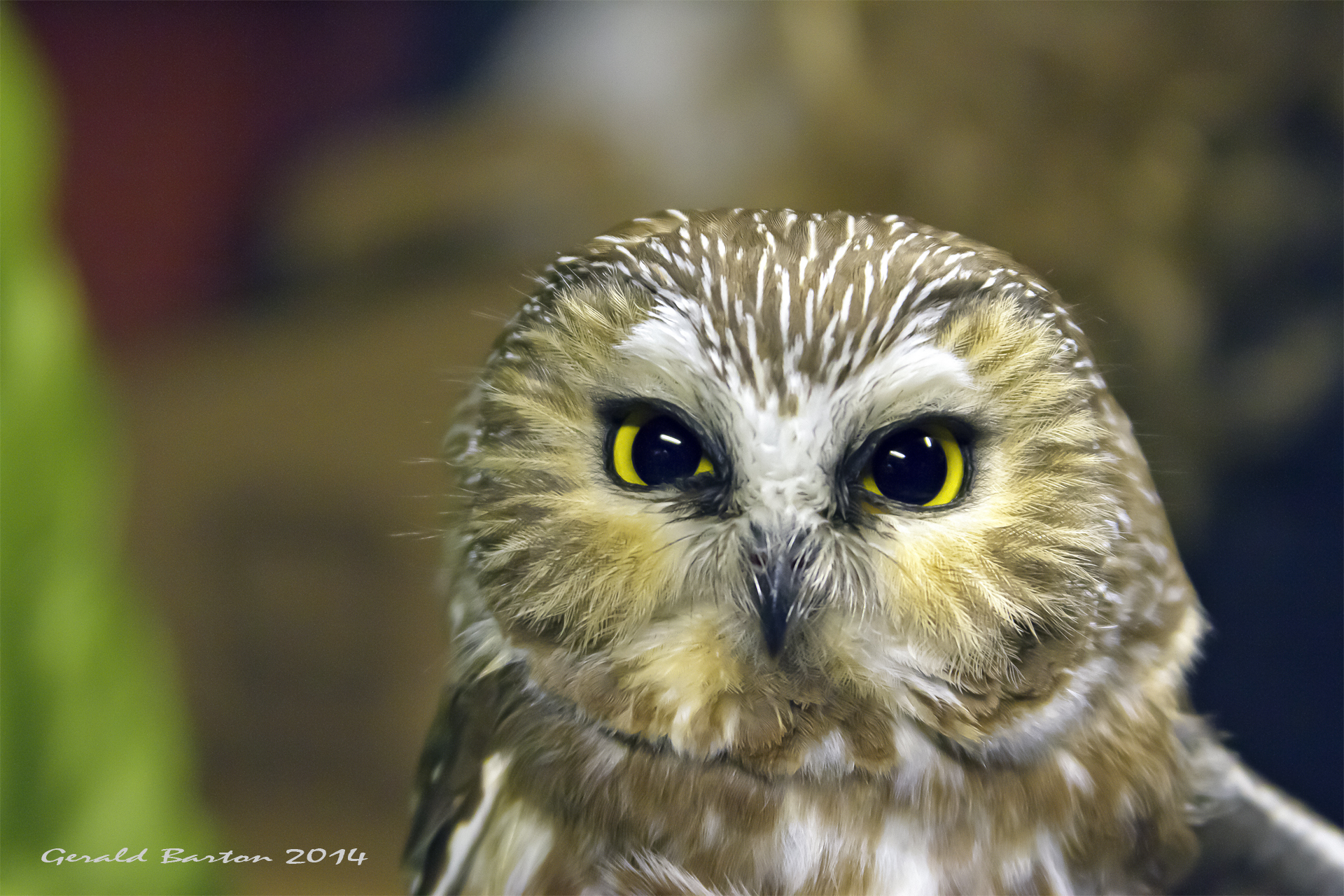 Northern Saw-whet Owl, October 2014.  Photo by Gerald Barton