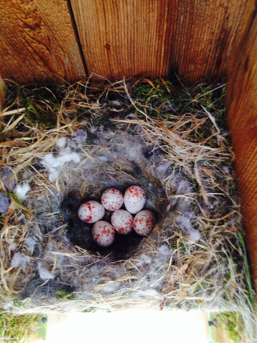 Chickadee eggs in one of our bluebird boxes.  Photo by Gretchen Larsen