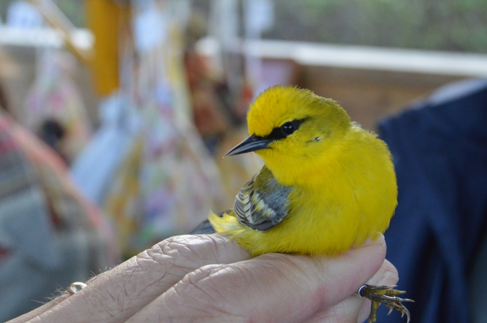 Blue-winged Warbler banded at Rushton this April.