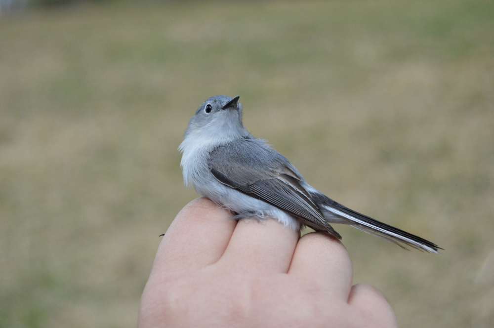 Blue-gray Gnatcatcher banded at Rushton this April.