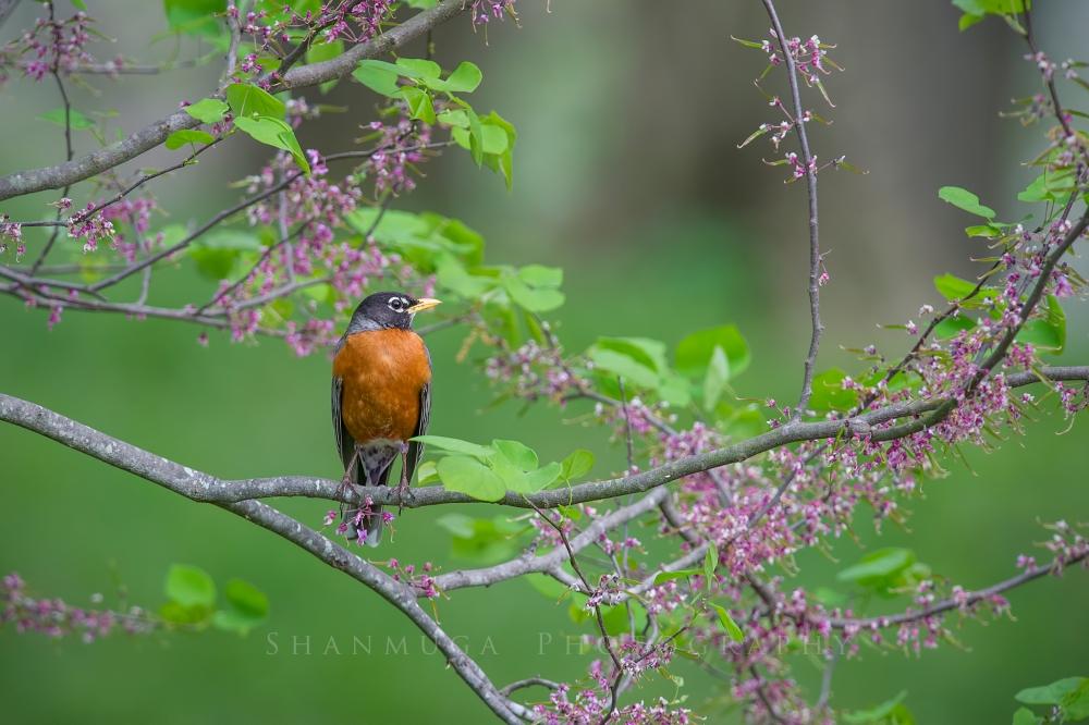 American Robin in spring. Photo by Santosh Shanmuga