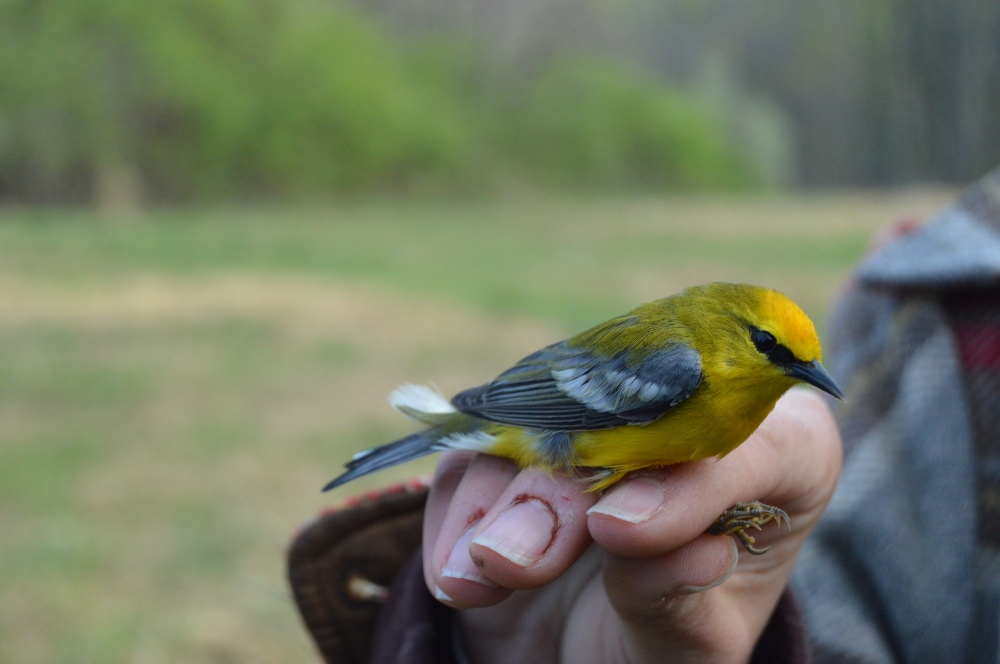 Adult male Blue-winged Warbler banded at Rushton this April.