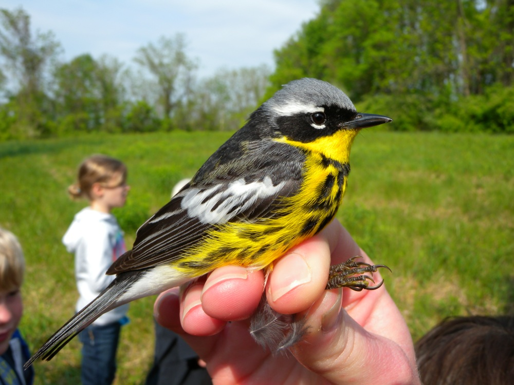 Magnolia Warbler banded at Rushton. This is a common warbler that breeds in fir and spruce forests of the north and winters in the tropics.