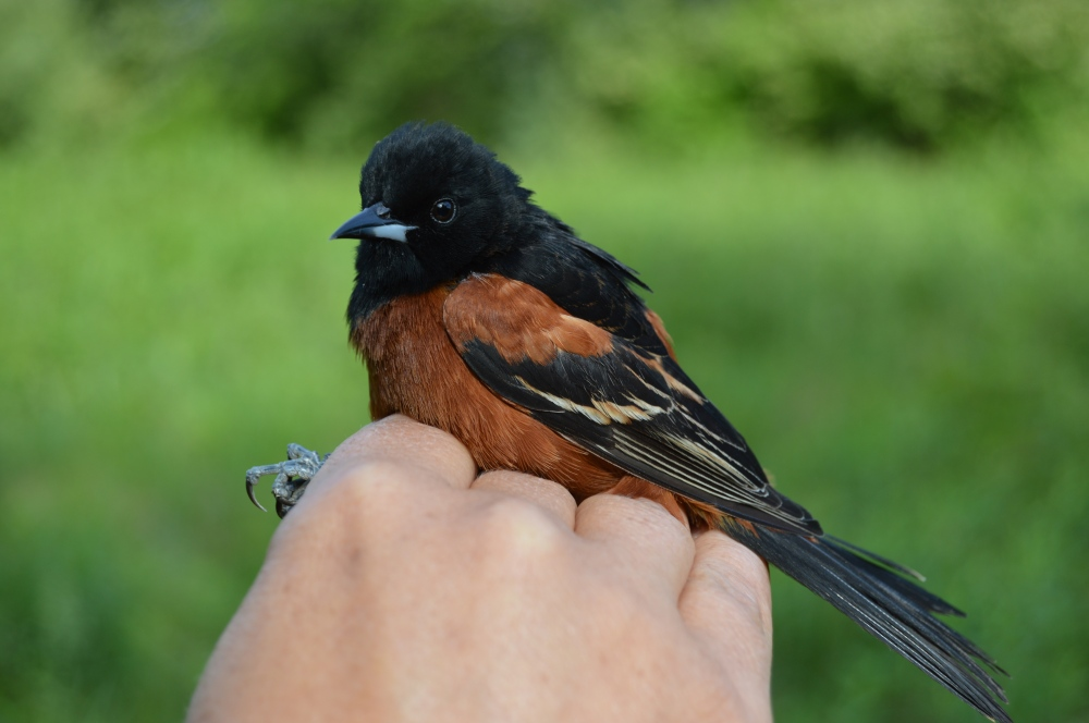 Adult male Orchard Oriole banded at Rushton this May. Photo by Blake Goll