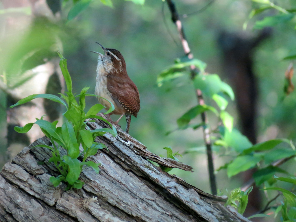 Carolina Wren singing. Photo by Mike Rosengarten