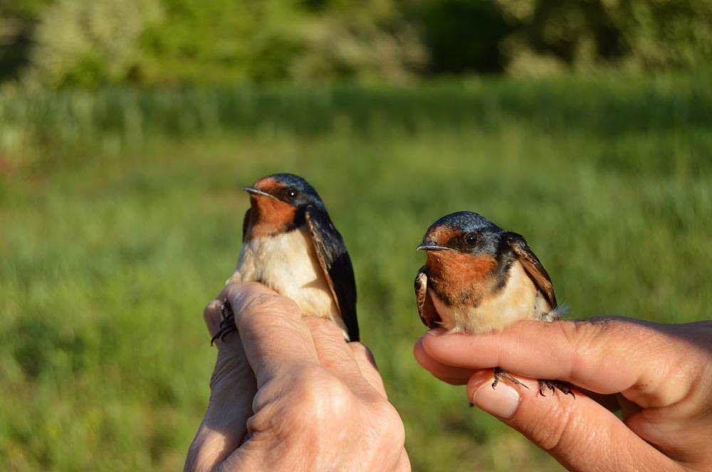 Barn Swallows banded at Rushton this May.