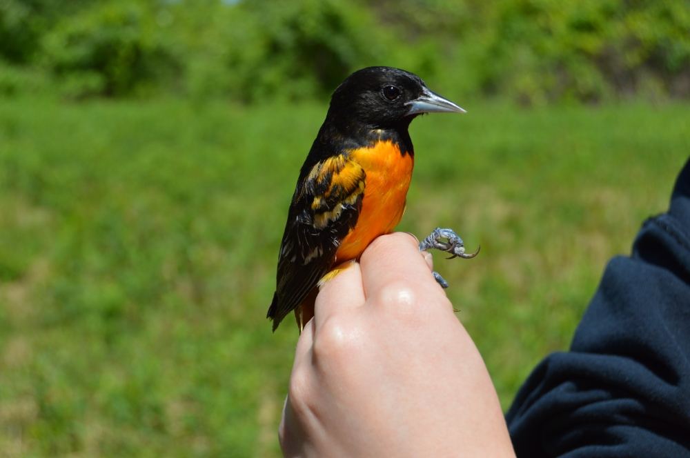 Baltimore Oriole banded at Rushton this May. Photo by Blake Goll