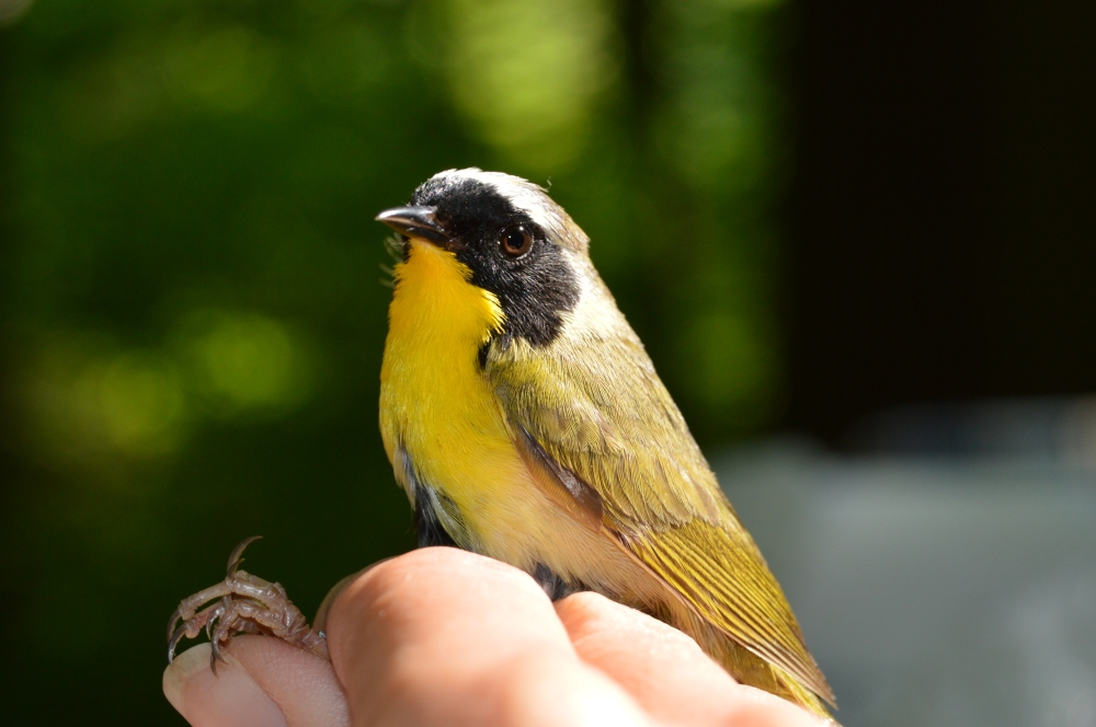 Common Yellowthroat banded at Rushton this May during MAPS. Photo by Blake Goll