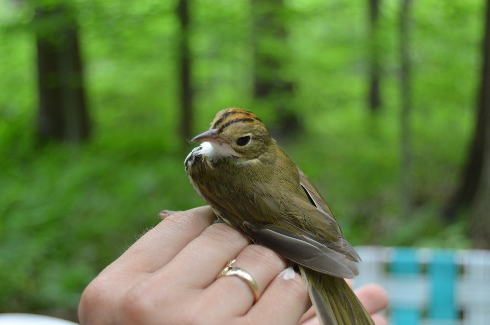 Ovenbird banded at Rushton this June during MAPS banding.