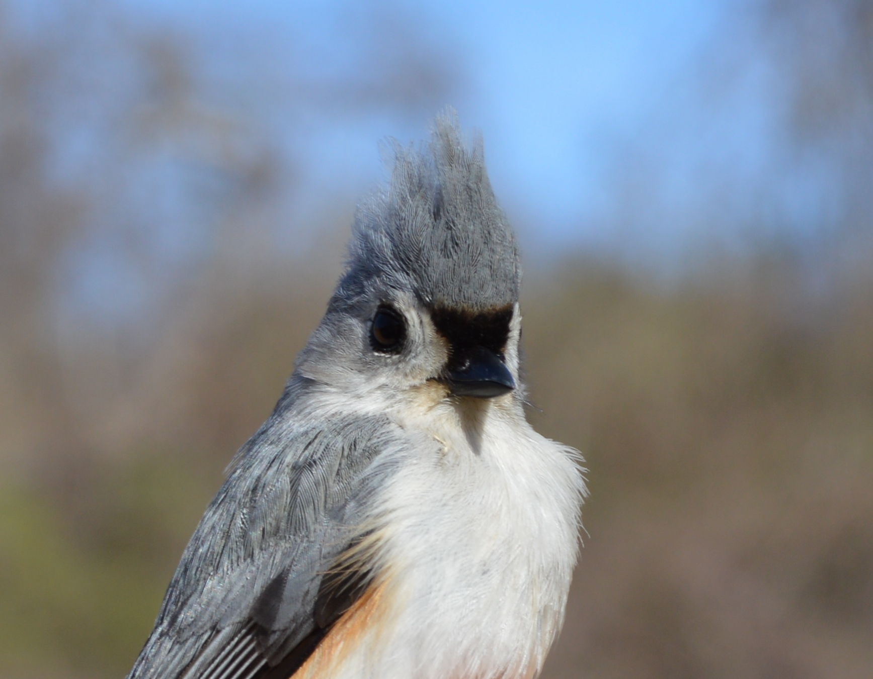 Tufted Titmouse. Photo by Blake Goll