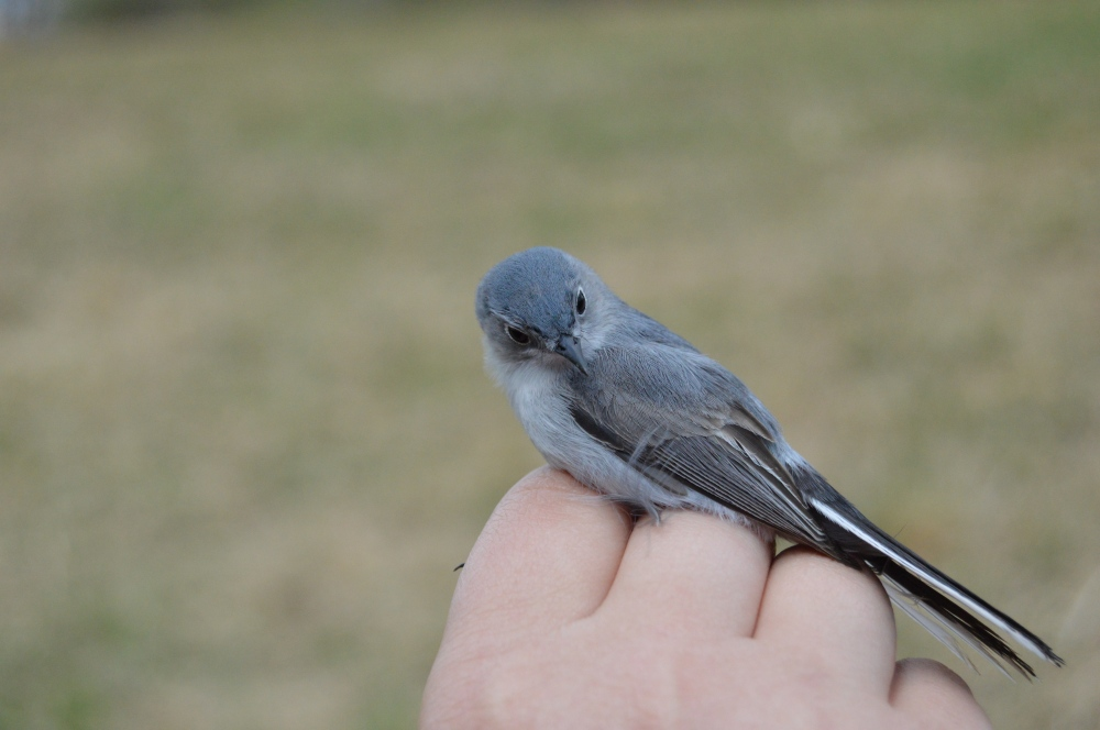 Blue-gray Gnatcatcher at Rushton this spring.