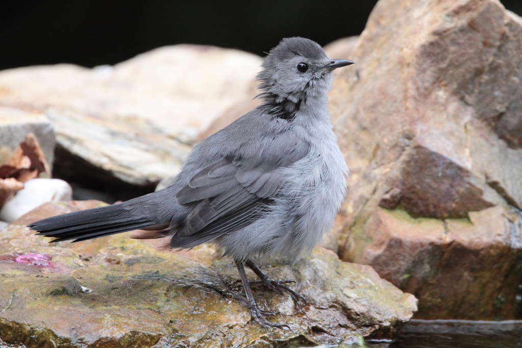 Gray Catbird preparing for a bath. Photo by Dustin Welch.