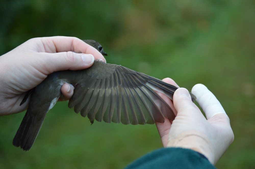 Wing of long distance flier, the Gray-cheeked Thrush.