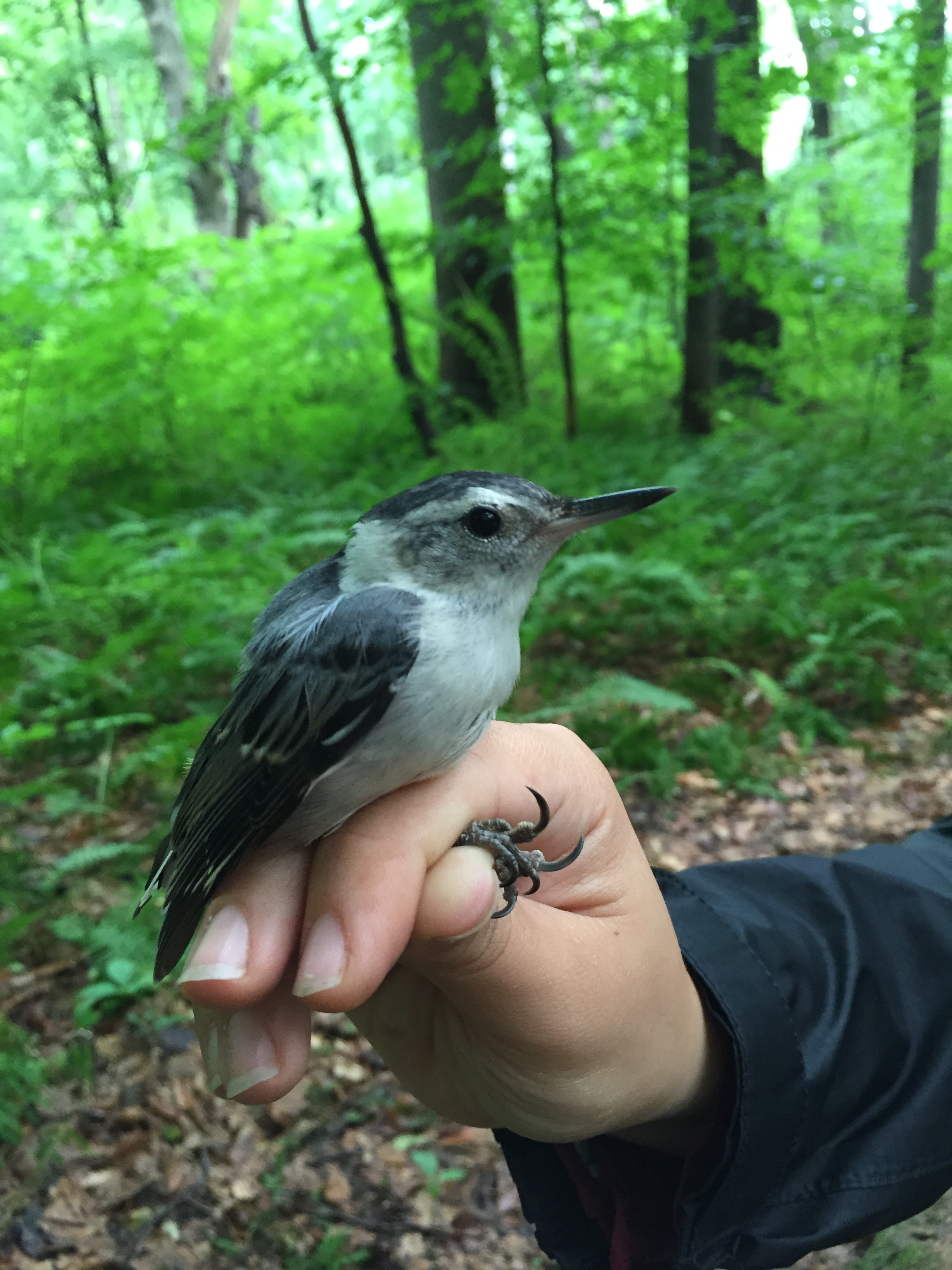 White-breasted Nuthatch banded this July at Rushton during MAPS