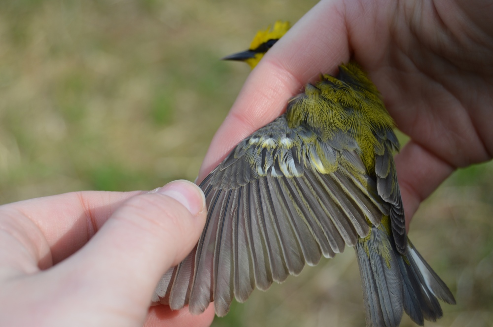 Blue-winged Warbler wing