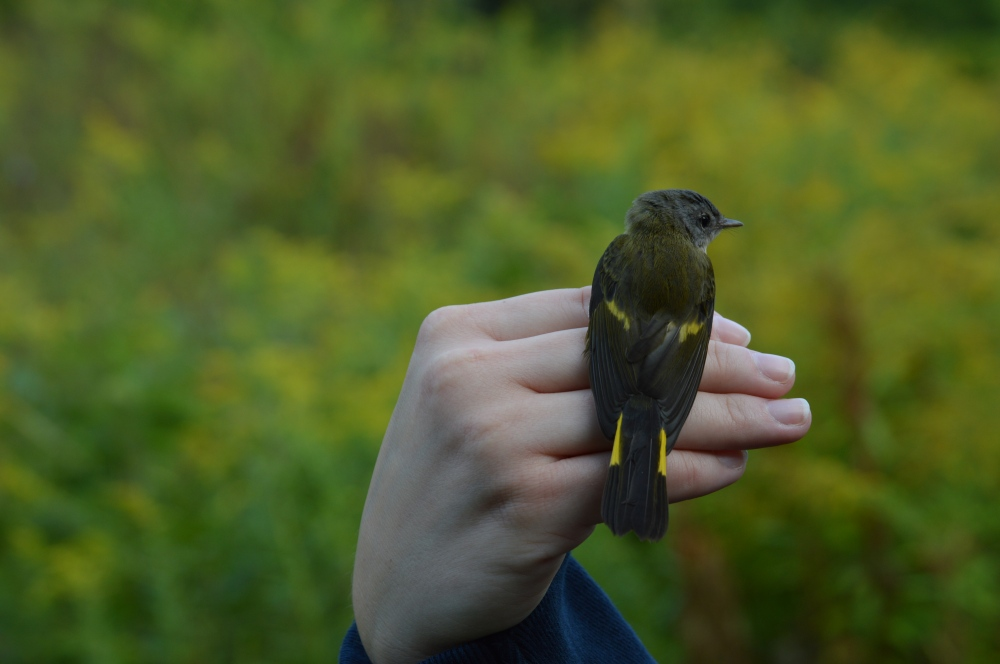 Adult female American Redstart