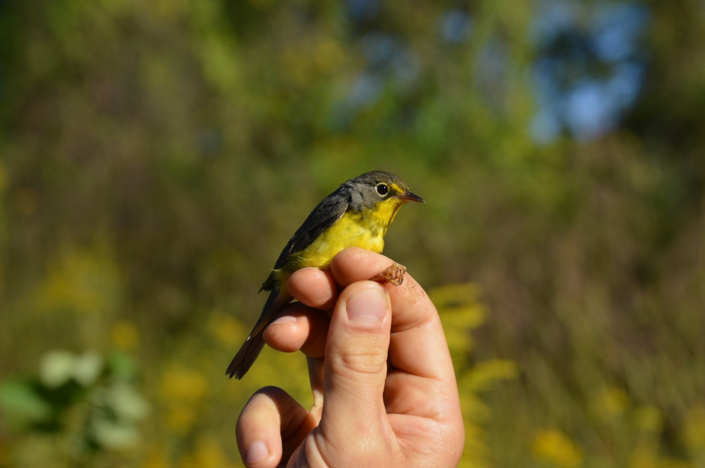 Adult female Canada Warbler banded at Rushton this September. Photo by Blake Goll