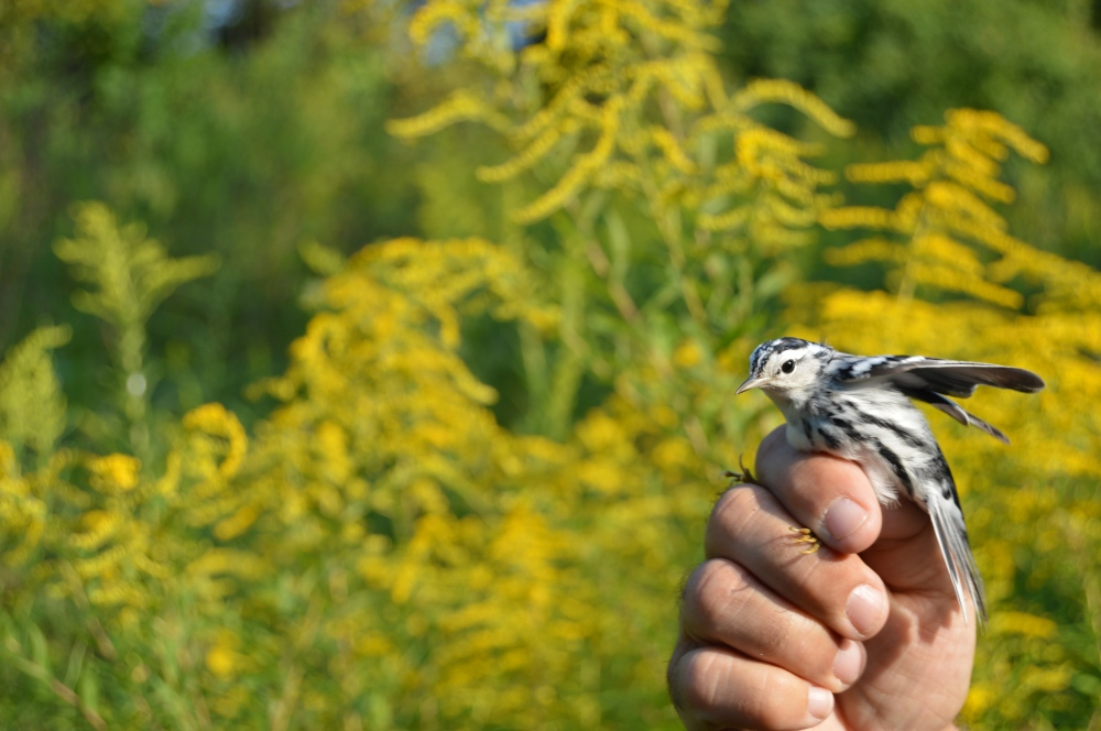 Black-and-white Warbler banded at Rushton this September