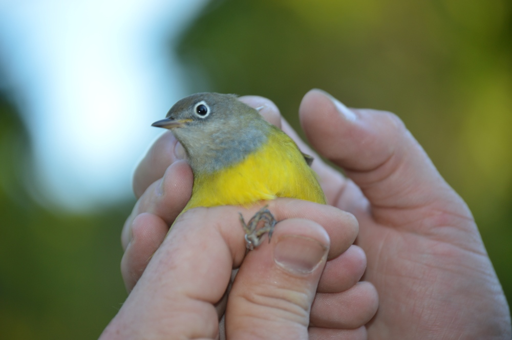 Adult female Connecticut Warbler banded at Rushton this September